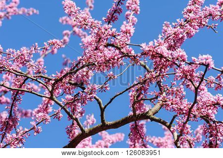 Blossoming cercis siliquastrum in the sky during springtime