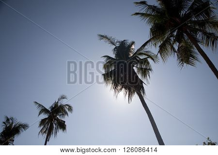 palm tree with blue sky and backlight