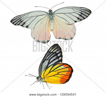 Isolated Painted Jezebel butterfly on white with clipping path