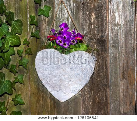Lovely Pansies planted in a heard on a urban wooden background for garden decoration.
