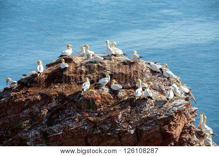 Northern Gannet Sitting On The Nest