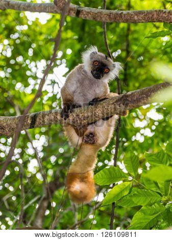 Close up portrait of lemur gaze on Lokobe Strict Nature Reserve in Nosy Be Madagascar Africa