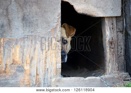 Dog on a chain in a dog house
