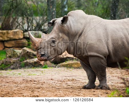 Black Rhinoceros, Diceros bicornis, in the zoo. Detailed profile view.
