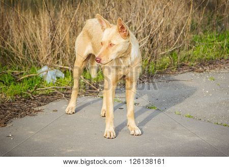 Feral hungry stray dog standing on the road