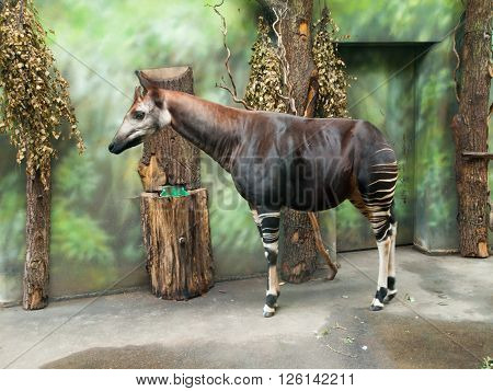 Okapi giraffe, Okapia johnstoni, in the indoor part of a zoo. ** Note: Soft Focus at 100%, best at smaller sizes