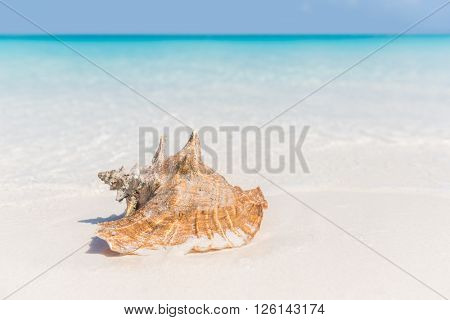 Beach shell ocean conch copyspace background. Serene landscape with seashell lying on white sand in water for tropical summer vacations concept. Travel in the Caribbean.