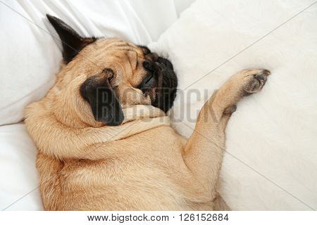 Pug dog sleeping in bed