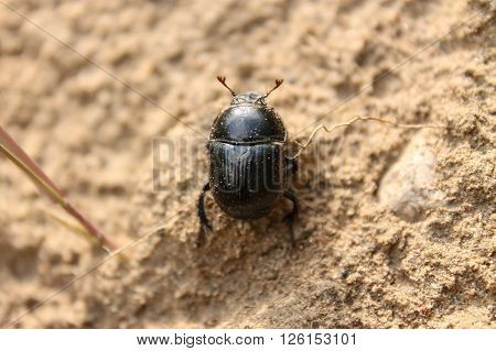A dung beetle in a field. This dung beetle is looking for some animal feces to roll