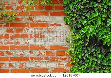 Ivy covered wall. background with ivy, green plant