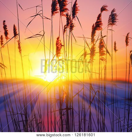 silhouette of reeds at sunset. Shallow depth of field.