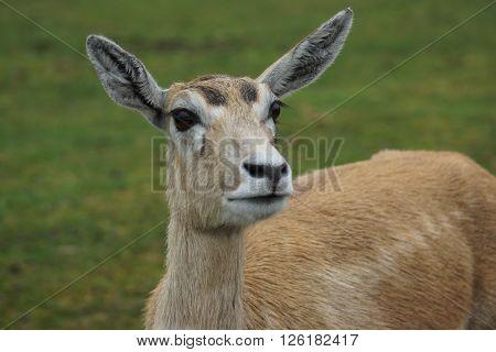 An inquisitive small wild Blackbuck - Antilope cervicapra poster