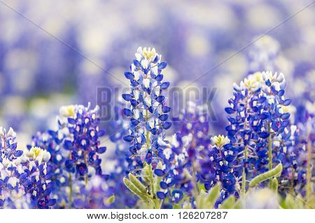 Texas Wildflower - Closeup Bluebonnets In Spring.