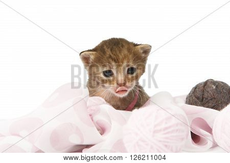 Cute grey striped kitten. Cute kitten sitting shows its tongue in violet textile with yarn balls isolated at white background. Adorable pet. Small heartwarming kitten. Little cat. High key