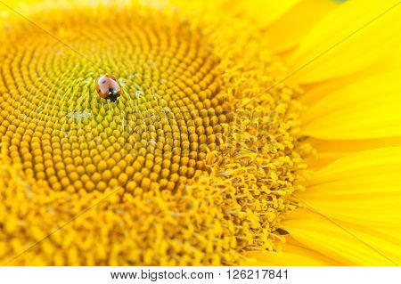 Sunflower close up. Bright yellow sunflowers. Sunflower background. Ladybug on a Sunflower.