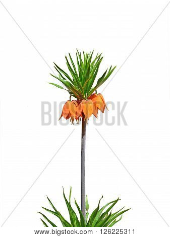 Crown imperial imperial fritillary flower isolated- Fritillaria imperialis