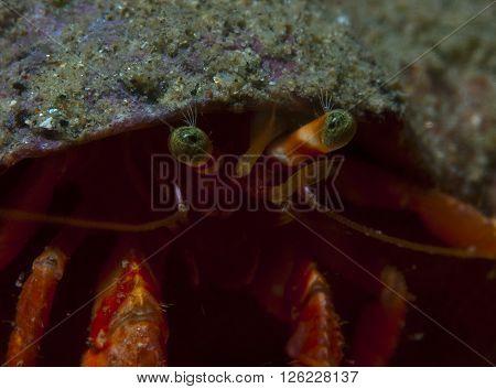 one small hermit crab anemones walking over an orange sponge poster