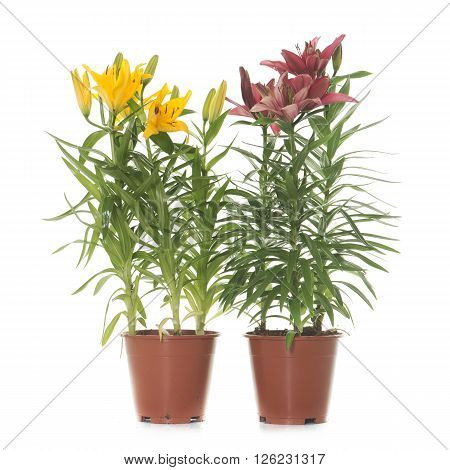 Lilium in pot in front of white background