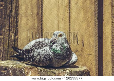 Resting Spotted Racing Pigeon