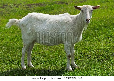 Young hornless white goat standing on green grass on a sunny spring day. Selective focus image. Portrait of a goat in full growth