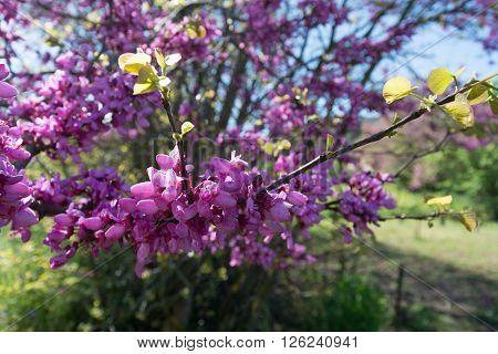 Redbud tree pink flowers spring background Corfu