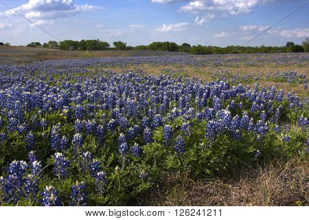 Bluebonnets bloom in a wide pasture in central Texas during April