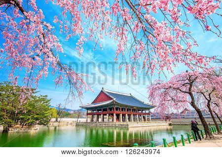 SEOUL SOUTH KOREA - APRIL 6: Tourists taking photos of the beautiful scenery around Gyeongbokgung Palace with cherry blossom in spring on April 6 2016 in Seoul South Korea.