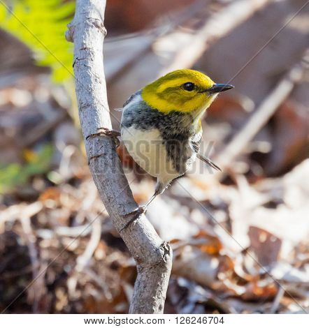 Female Black-throated Green Warbler (Setophaga virens) perched on a branch