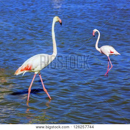 Pair of pink flamingos in delta of the Rhone. Sunset in the national park of Camargue, Provence