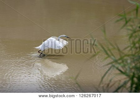 White Heron or Bittern are catch fish in the pond.