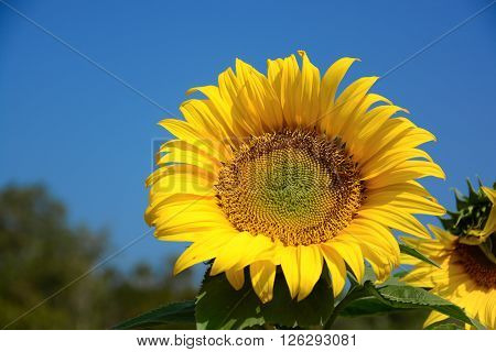 Blooming sunflower field on sunnyday with blackground blue sky.