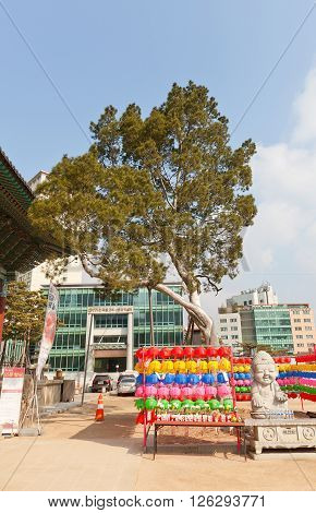SEOUL SOUTH KOREA - MARCH 14 2016: Chinese Scholar Tree in Jogyesa Temple (founded in 1395) in Seoul Korea. This Sophora japonica (pagoda tree) is estimated to be over 450 years old