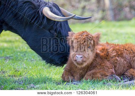 Newborn scottish highlander calf with head of mother cow