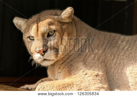 closeup of a cougar or mountain lion in its habitat