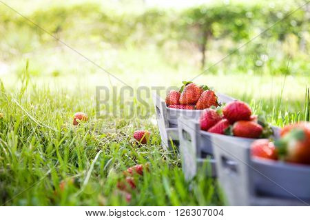 Fresh fruit. Strawberries in grass Spring fruit. Spring nature