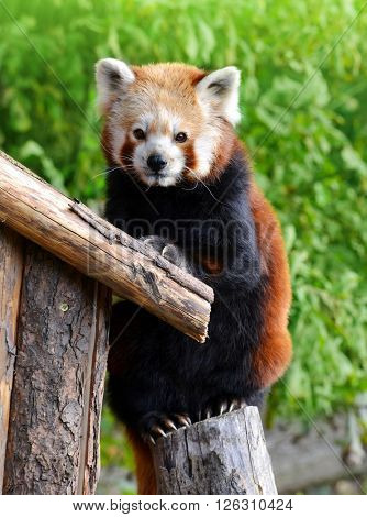 Red panda bear (Ailurus fulgens)