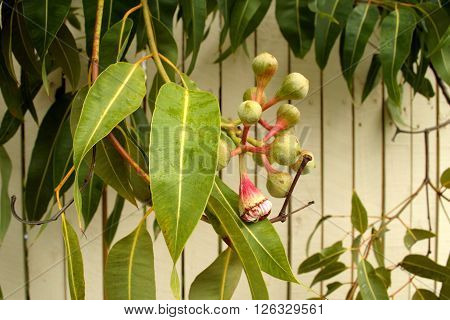 Australian Gum tree (Eucalyptus) bearing fruit (gum nuts)