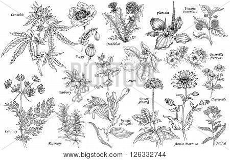Set of vector medicinal herbs flowers plants spices fruits. Illustration of Cannabis Poppy dandelion plantain cumin barberry rosemary vanilla coffee ginseng chamomile lemon milfoil.