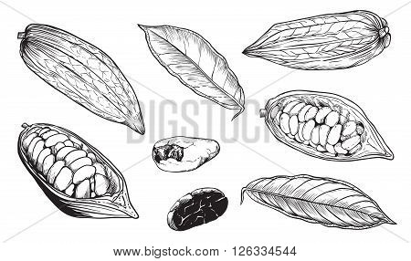 Cocoa on white background. Cocoa beans. Engraved raster illustration of leaves and fruits of cocoa beans. Raster set of hand sketched cocoa. Isolated cocoa.