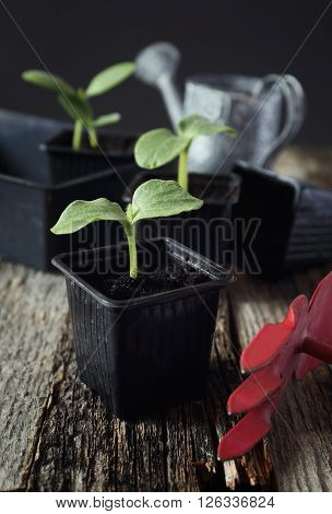 Young seedlings transplanting at home. Toned image