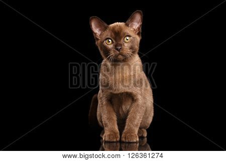 Burmese kitten with Chocolate fur Sitting on Isolated black background and Looking in Camera