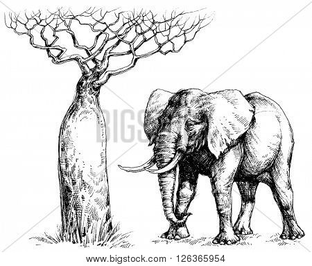 African elephant and baobab