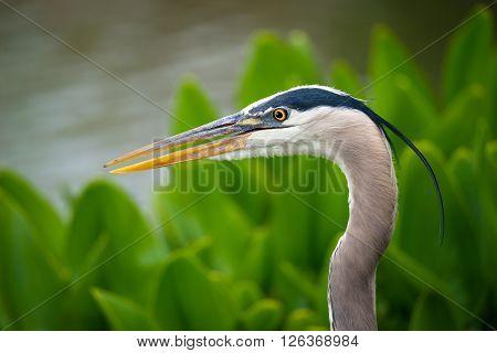 Closeup of Great Blue Heron (Ardea herodias)