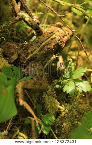 A frog moving away in the forest underbrush.