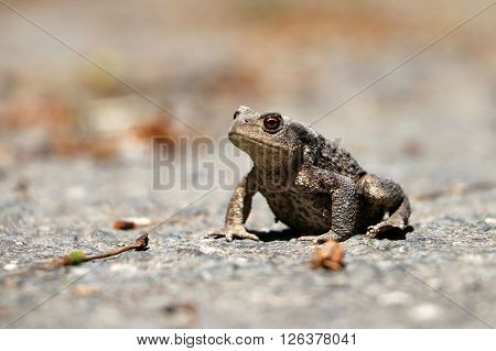 A grey frog sitting on the street