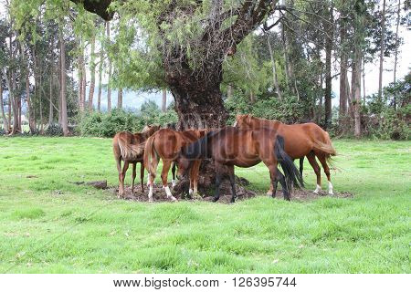 Group of horses resting under a large tree tails swishing