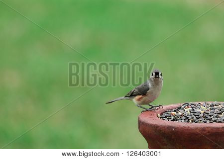 A Tufted Titmouse perched on a bird feeder