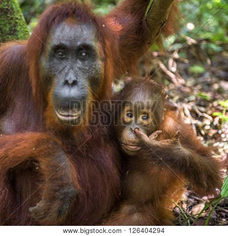 A Female Of The Orangutan With A Cub In A Native Habitat. Bornean Orangutan (pongo O Pygmaeus Wurmmb