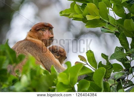 A Female Proboscis Monkey (nasalis Larvatus) With A Cub In A Native Habitat.  Long-nosed Monkey, Kno