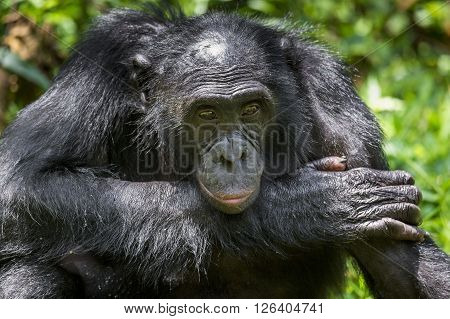 Close Up Portrait Adult Male Bonobos (pan Paniscus) On Green Natural Background.